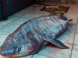 Akdeniz'de 3 metrelik köpek balığı yakalandı