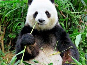 Bambu ağacı yiyen Panda